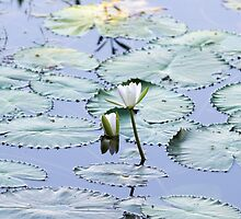 Brightly Colored Water Lily or Lotus Flower Floating on Pond by Sohel Parvez Haque