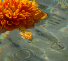 Liquid Rainbows – Floating Chrysanthemum Blossom in the Sunshine Sticker