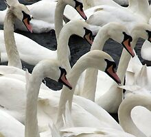 Synchronised swanning by Paul Gibbons