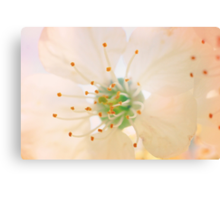 White Cherry Macro Photography - Vintage Effect Canvas Print