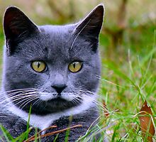 Kitty in Grey by Jocelyn Hyers