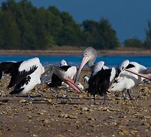 Australian Pelicans, Lee Point, NT by Keith McGuinness