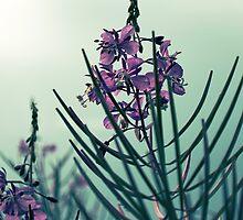 Atlantic Pink Wildflowers Chamerion Augustifolium Fireweed by MissDawnM