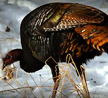 Wild Turkey Foraging for Food by Ryan Houston