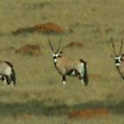 Gemsbok / Oryx by countrypix