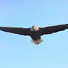 Bald Eagle Approach by Herbie