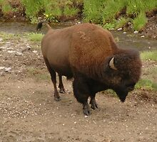Bison in Yellowstone National Park by cameraperson