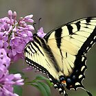 Swallowtail by Jamaboop