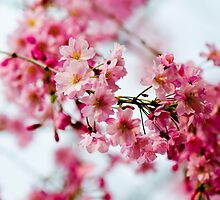 Pink Cherry Blossoms by Ilze Lucero