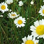 Colorado Daisies by FreezingPoint