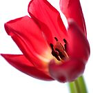 Tulip by jotography