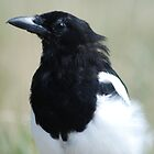 Beautiful Magpie by AnneS
