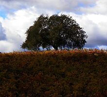 sonoma county tree  by capbydiana