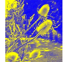 Teasel : Photography by Alys Griffiths Photographic Print