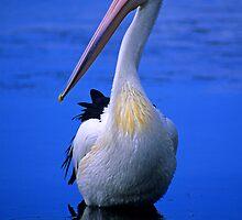 Pelican by Travis Easton