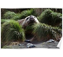 Southern Elephant Seal in the Tussock Grass, Macquarie Island  Poster