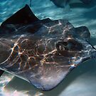 Stingray by Christian  Zammit