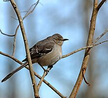 Mockingbird on Frosty Morning by Bonnie T.  Barry