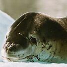 Leopard Seal by Steve Bulford