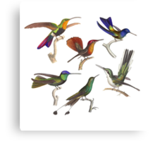 Six Hummingbirds Antique Print Canvas Print