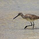 Willet by John Edwards