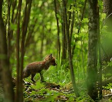 Red fox puppy in forest by Remo Savisaar