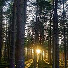 Sunset pines by Ranald