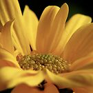 Yellow Gerbera by Paul Morley