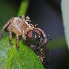 Jumping spider with fly by David  Hall