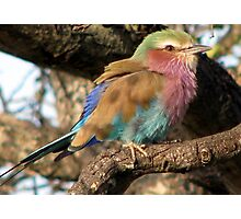Lilacbreasted Roller (Troupant) Photographic Print