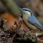 Nuthatch (Sitta europaea Linnaeus) by Peter Wiggerman