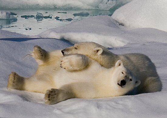 Polar Bear Cubs II by Steve Bulford