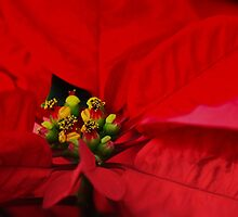 Poinsettia: Official December Flower by Poete100