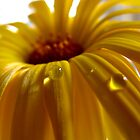 Calendula pearl by Mary Trebilco