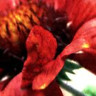 Gaillardia ~ An abstract in red by Mary Trebilco