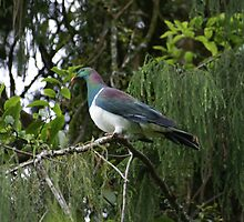 Kereru. New Zealand wood pigeon by avionz