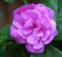 Rain Drops on Roses by hulldude30