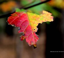 Yellow And Red Maple Leaf In Autumn | Middle Island, New York  by © Sophie W. Smith