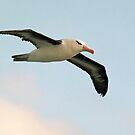 Albatross Flight by Steve Bulford