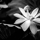 Water Lilly B&W by Candice84