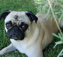 Penelope My Precious Pug by Aris