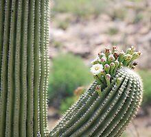 Saguaro Beginning to Bloom by Kathleen Brant