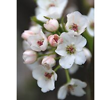 White and Pink Flowers Photographic Print