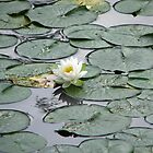 White Water Lily by pinklilypress