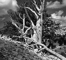 Bristlecone Pine by Nolan Nitschke