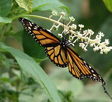 Monarch of the garden by inventor