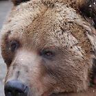 Pondering Grizzly by Kim Hart