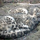 Sleeping Snow Leopards by Kim Hart