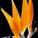 Fleur de Paradis... by MikeO