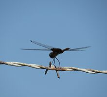 Dragonfly on Barbed Wire by IRCbyAir